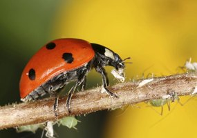 One adult  ladybug may eat 50 aphids per day.
