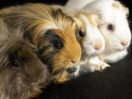 Guinea pigs are social animals but should only be allowed to mingle with other cavies.
