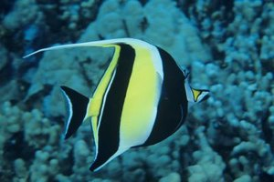 Because of its striking shape and colors, the moorish idol has become a symbolic marine fish, often depicted in art and graphic designs.