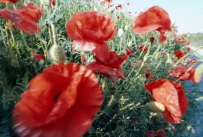 Poppies will flourish even if you battle grass in your flowerbed.