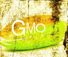 Corn is one of the most prevalent genetically modified crops.