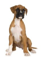 Contrary to myth, there is not a runt in every litter of boxer pups.