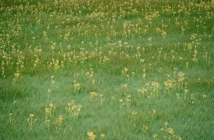 Preventive weed control works best in home lawns.