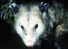 Explore possums through craft projects.