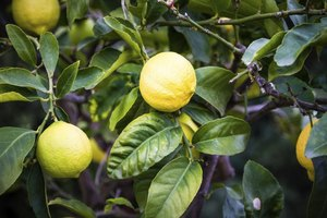 Fruit grows on a lemon tree.