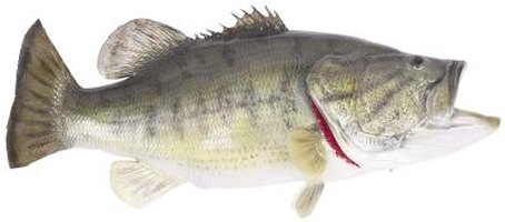 Several species of bass are found in freshwater habitats.