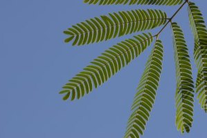 How to Take Care of a Mimosa Pudica