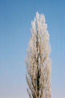 The poplar tree produces a common hardwood used in outdoor construction.