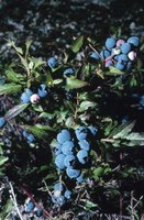 Blueberries ripen in the summer and fall.