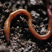 Worm compost offers several advantages, including environmental benefits and improved levels of soil nutrients.