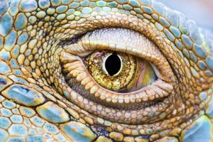 The eyes vary greatly among reptile orders and species.