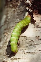 Find caterpillars hiding in trees and feeding on tree leaves.