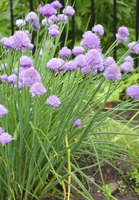 Wild chives often grow in lawns.