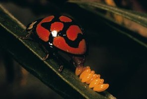 Leave ladybug eggs alone -- the adults prey on harmful pests.