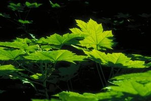 The palmate leaves on thimbleberry grow up to 8 inches across.