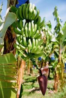 Bananas are a common fruit grown in the tropics.
