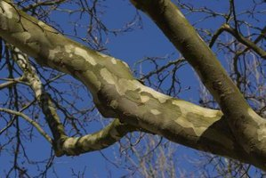 Sycamore bark has a distinctive pattern.