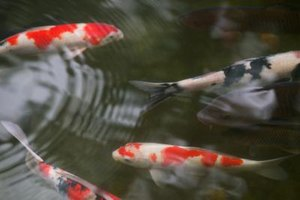 Koi benefit from access to shade.