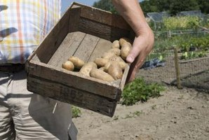 Potatoes are harvested in September, or right before the first frost.