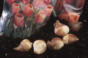 Tulip bulbs should be planted 4 to 6 inches apart.