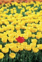 Tulips grow from true bulbs with hybrid varieties available in a multitudes of colors.