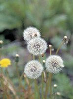 The puffball of seeds indicates the dandelion bloom has matured and gone to seed.