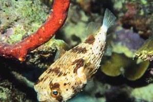 Puffer fish may live in freshwater, saltwater or brackish water.