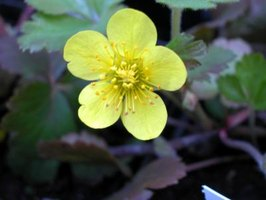 Buttercups look decorative but can be harmful to other plants.