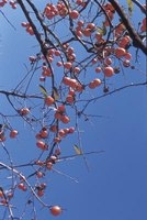Persimmon trees make good ornamentals.
