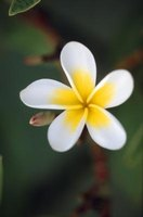 Pests can damage colorful, fragrant plumeria flowers.