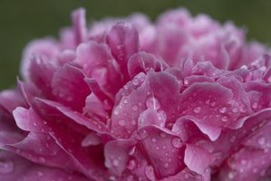 Wet weather can challenge peony health.