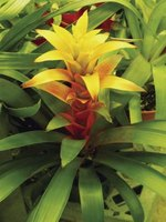 The brightly colored flower of many bromeliad species can last for months.