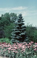 Blue spruce trees add color and mass to the landscape.