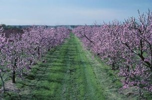 Nothing beats the sight of fruit trees in blossom.