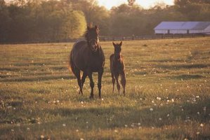 A quarter horse stands shorter than a thoroughbred.