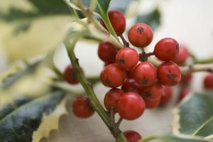 Holly foliage and berries brighten winter landscapes.