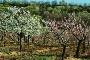 Natural fruit tree pest control starts with a flour-based repellent.