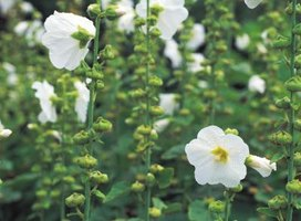 Rose of Sharon flowers resemble those of its relative, the common hollyhock.