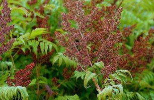 Poison sumac can be difficult to kill.