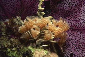 Feather duster worms add beauty to your reef aquarium.