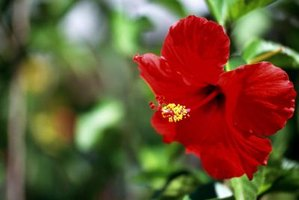 Hibiscus plant varieties have different colored flowers.