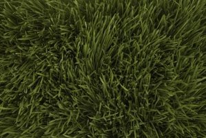 A lawn is composed of millions of individual grass plants.