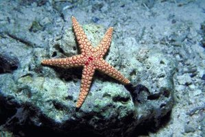 Some starfish eat several bivalves at each meal.
