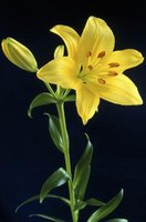Bright-colored lilies light up the garden and the dinner table.