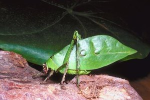 To the casual observer, bush crickets pass as leaves.