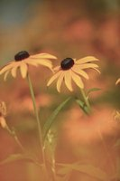 The striking contrast of the black-eyed Susan bloom is part of the appeal of this plant.
