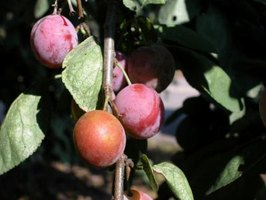 Plums can be eaten fresh or made into jams, jellies or wine.