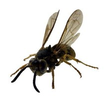 With their yellow and black stripes, yellowjacket wasps closely resemble bees.