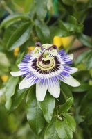 The spectacular passion flower grows on a large vine suitable for covering hillsides.