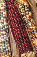Indian corn occurs in an amazing range of colors.